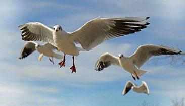 seagulls_366x210
